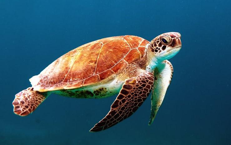 tortue verte tahiti polynesie ocean pacifique