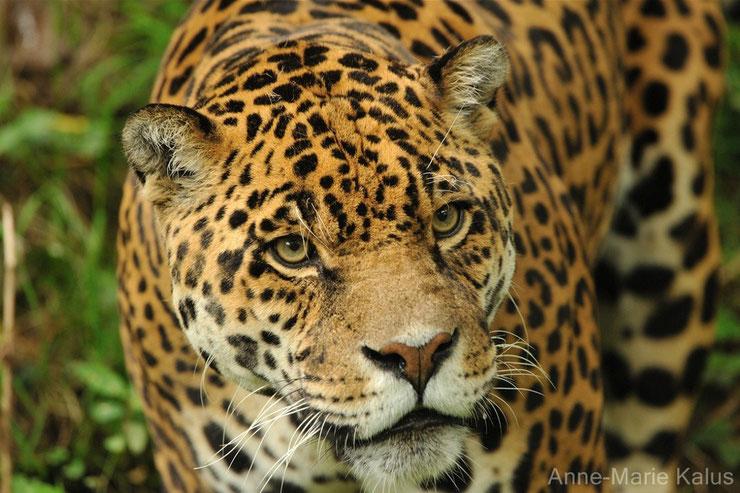 liste des animaux d'amazonie jaguar