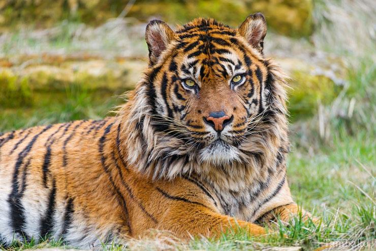 tigre de sumatra fiche animaux comportement taille poids longevite habitat