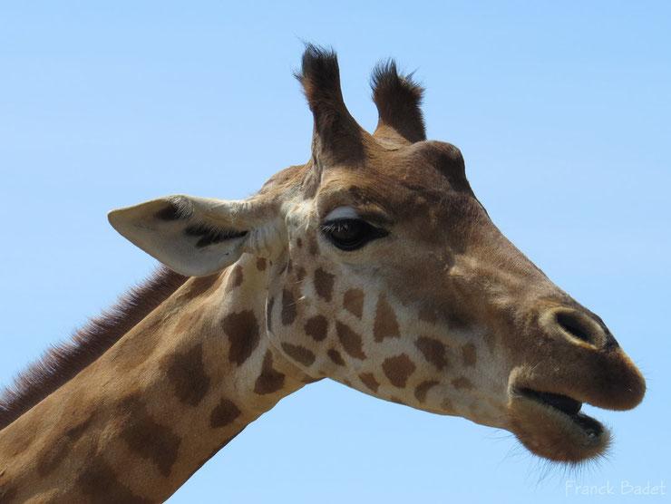 liste animaux emblematiques embleme pays tanzanie girafe