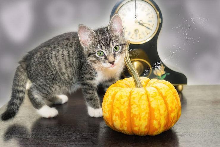 chaton citrouille halloween