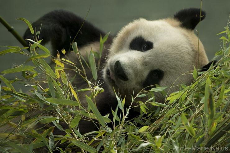 liste animaux emblematiques embleme pays chine panda geant