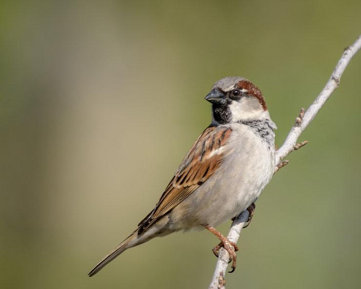 fiche oiseaux animaux moineau domestique house sparrow animal facts bird