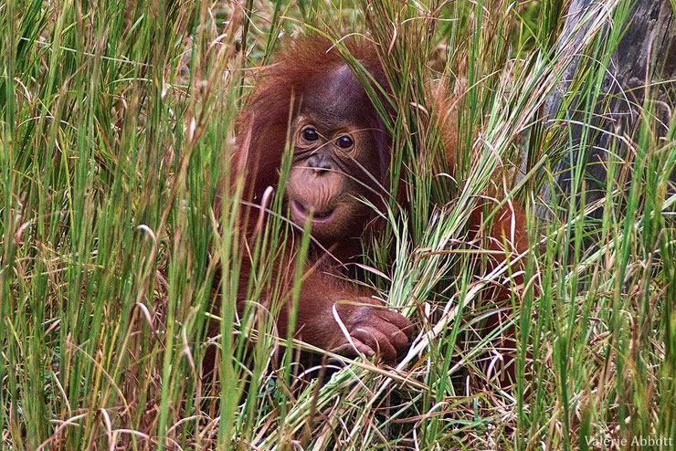 orang outan bebe baby animal wild fact indonesia monkey singe