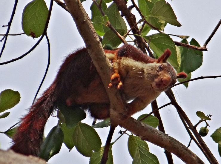 ecureuil geant inde fiche animaux
