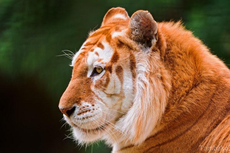 tigre dore fiche animaux felins