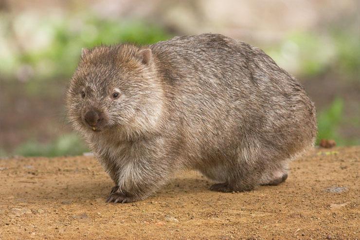wombat fiche animaux