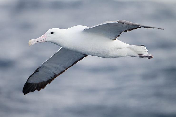 albatros royal fiche animaux oiseaux marins