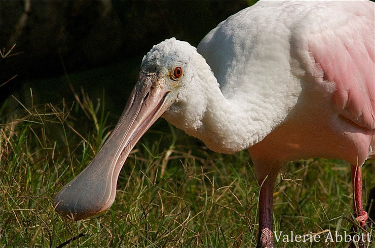 spatule rose fiche oiseaux animaux animal facts bird roseate spoonbill