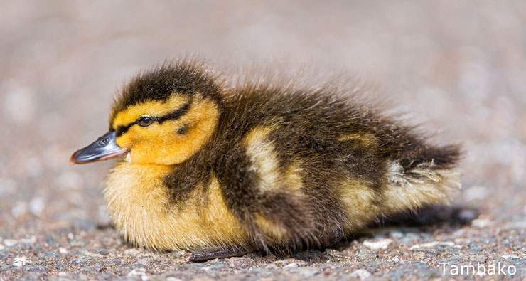bebes canard caneton animaux mignons cute birds baby animals duck