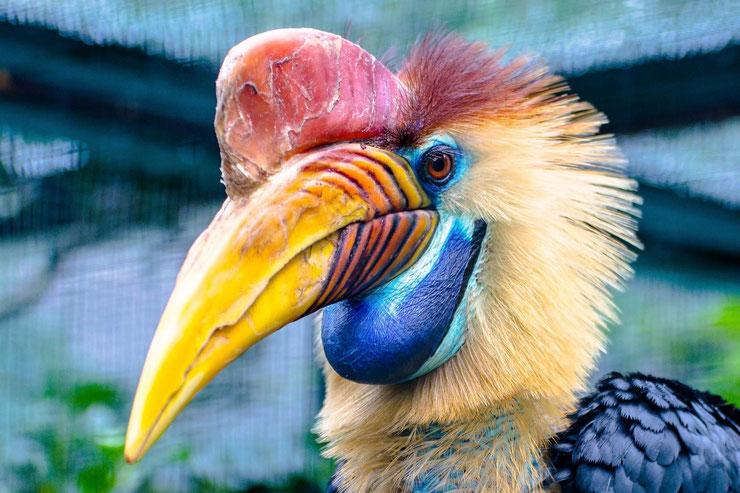 calao à cimier fiche oiseaux poids taille habitat distribution longevite alimentation