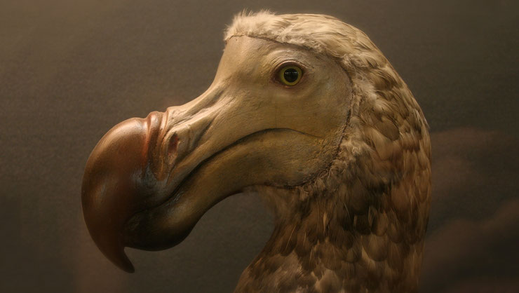 dodo animaux disparus oiseaux  fiche birds maurice ile