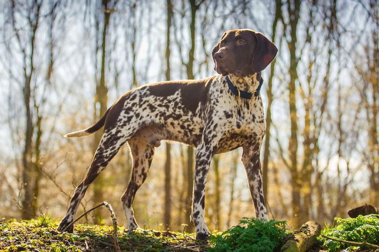 braque allemand fiche race chien animaux caractere comportement origine poil couleur sante