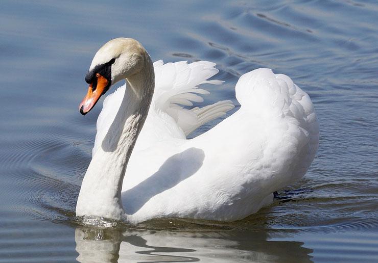 liste animaux emblematiques embleme pays danemark cygne tuberculé