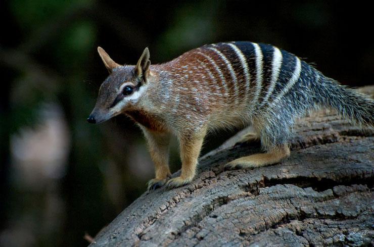 numbat liste des animaux marsupiaux