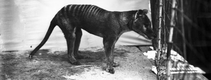 tigre tasmanie animaux disparus thylacine fiche loup australia cryptozoologie