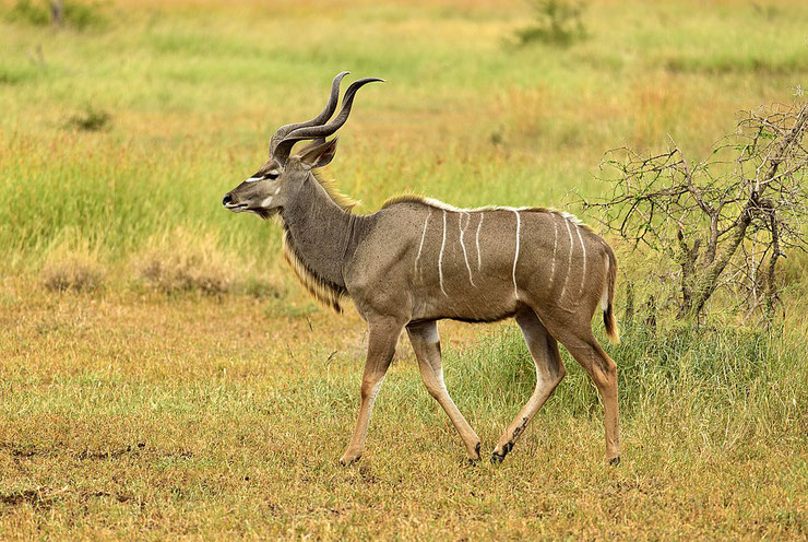 koudou grand fiche animaux afrique