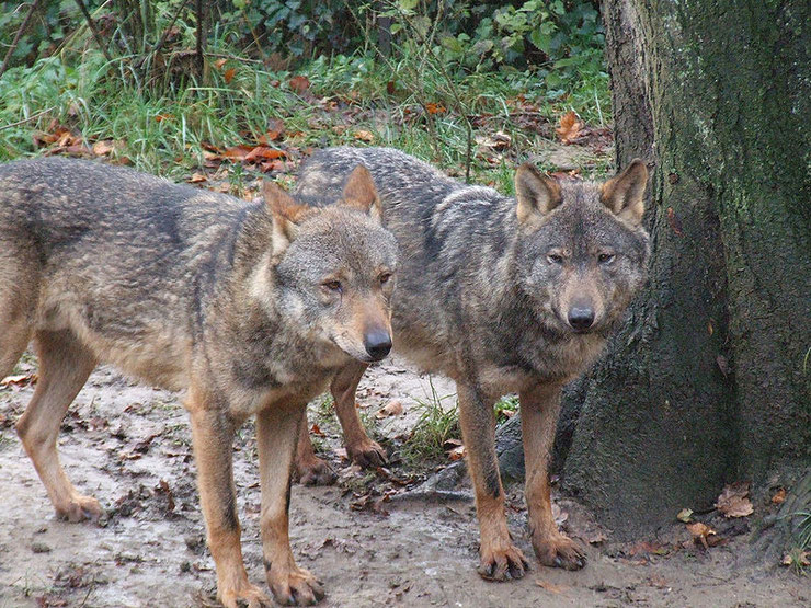 loup iberique fiche animaux iberian wolf mammiferes espagne sauvages foret
