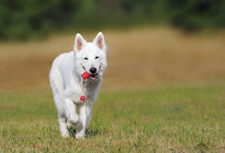 berger blanc suisse fiche chien animaux caractere comportement origine poil couleur