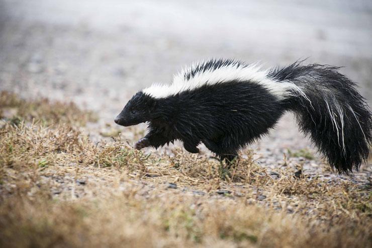 mouffette raye fiche animaux mammiferes striped skunk