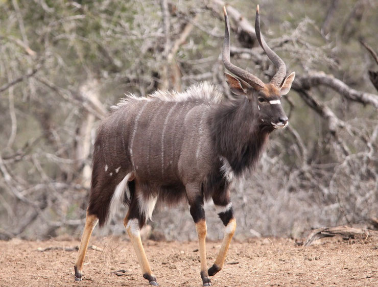 les antilopes d'Afrique nyala fiches animaux thematique habitat repartition poids taille alimentation reproduction