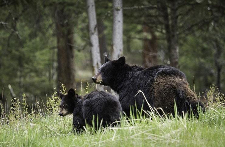 ours noir fiche animaux baribal et son petit cute cub black bear
