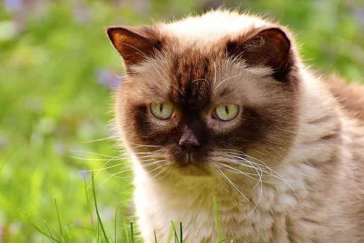 fiche animaux animal de compagnie  british shorthair race de chat sante origine comportement
