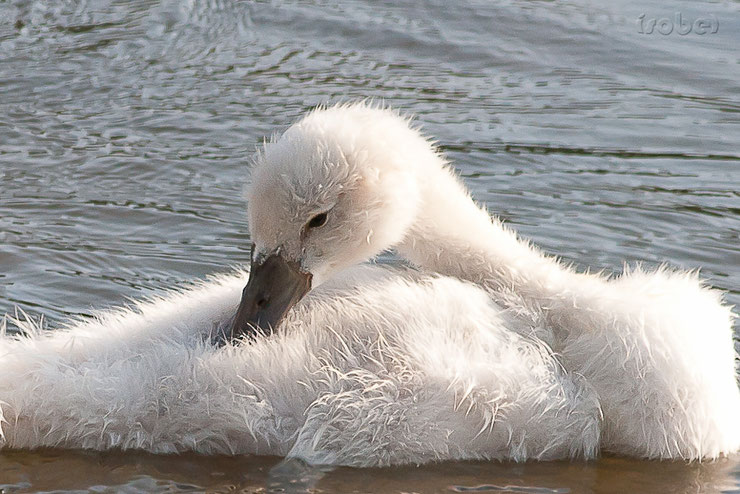 bebe cygne mignon chanteur animaux oiseaux birds animals cute swan