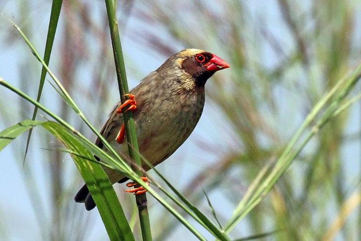 quelea a bec rouge travailleur fiche oiseaux animaux poids taille habitat distribution