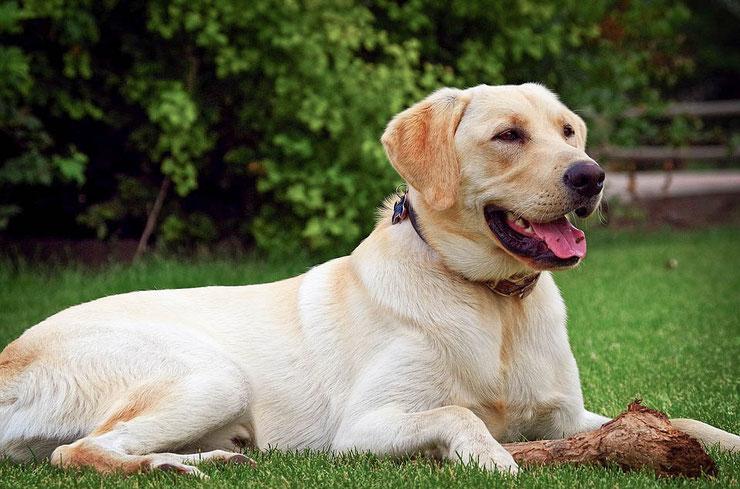 fiche chien labrador comportement origine caractere sante