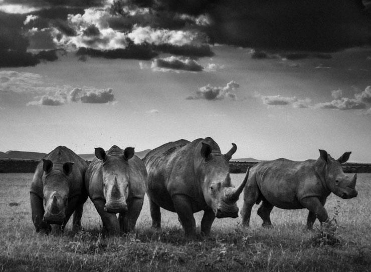 rhinoceros noir et blanc laurent baheux