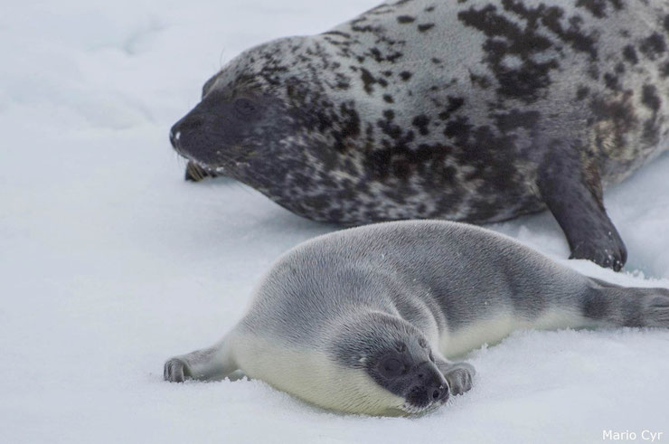 femelle phoque a capuchon et son petit