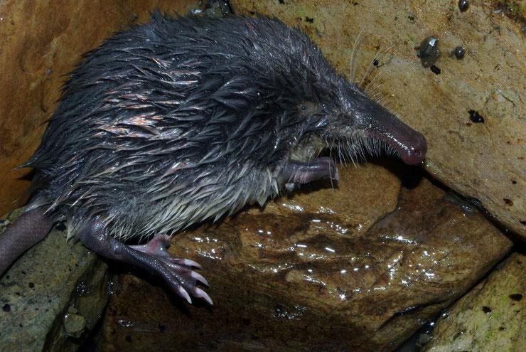 desman pyrenees fiches animaux rat trompette