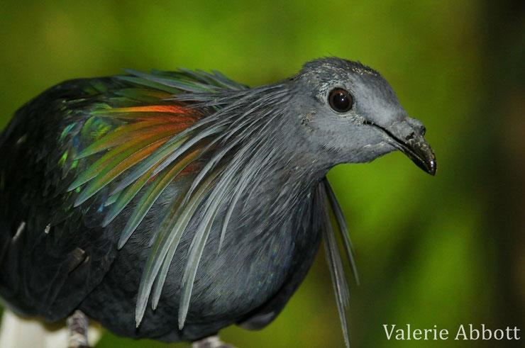 fiche animaux nicobar pigeon oiseau comportment distribution taille poids