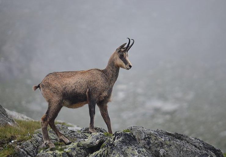 chamois fiche animaux des montagnes françaises bovides animal facts alpine chamois