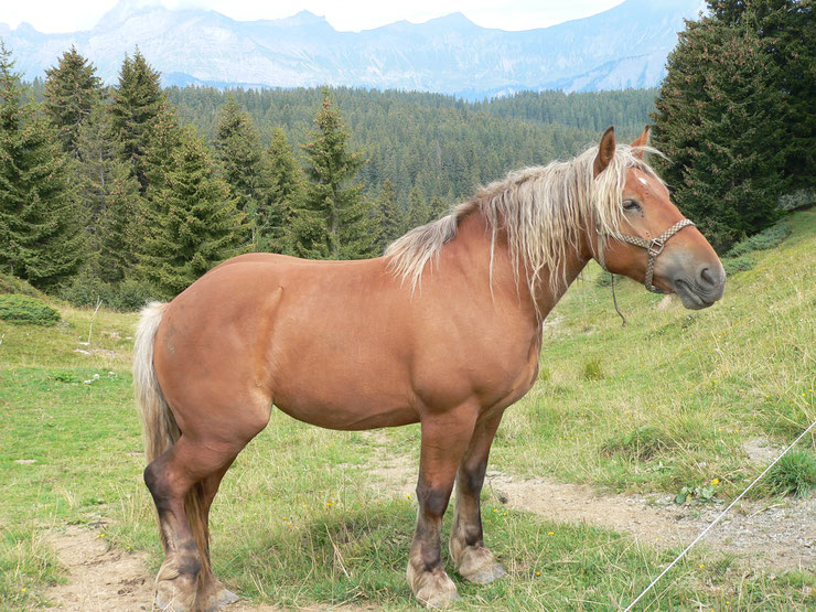 cheval comtois fiche chevaux origine caractere comportement