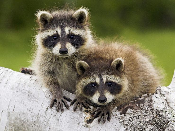 animaux du canada raton laveur