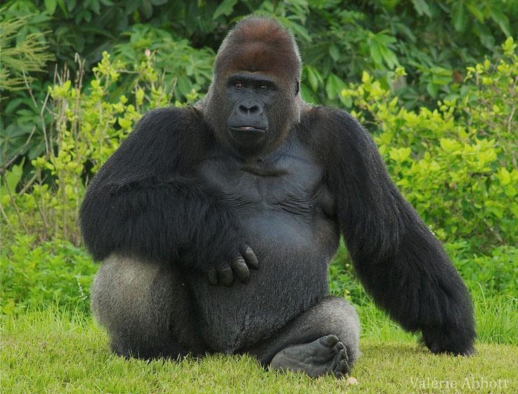 fiche animaux gorille des montagne primate singe alimentation longevite poids taille