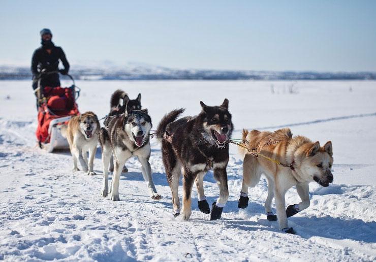 chien groenlandais du groenland  chien animaux origine caractere comportement sante poil race couleur