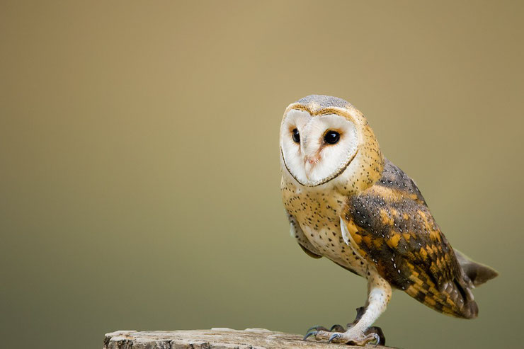 fiche oiseaux chouette effraie des clochers tyto alba animal facts bird western barn owl
