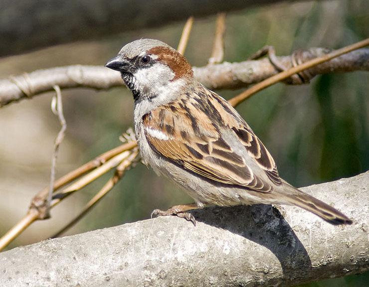moineau domestique male  fiche animal animaux oiseaux bird facts house sparrow
