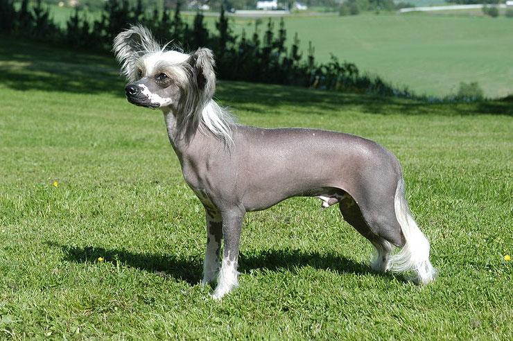 chien chinois a crete fiche chien animaux origine caractere comportement poil race couleur