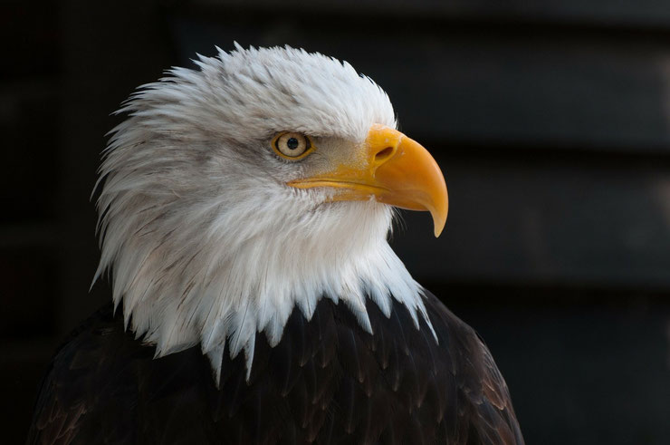 pygargue a tete blanche aigle americain