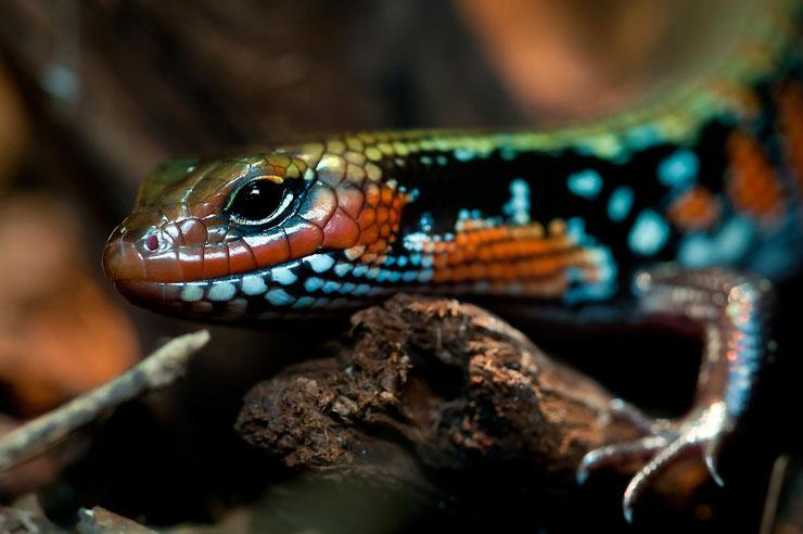 scinque de splendeur fiche animaux reptile animal facts skink splendor riopa fernandi