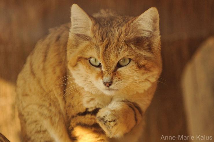 chat des sables cat sand fiches animaux