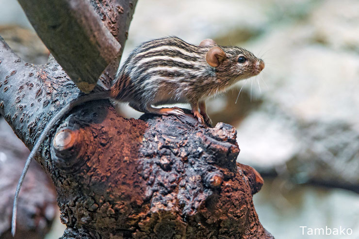 souris rayée afrique fiche animaux animal facts typical striped grass mouse