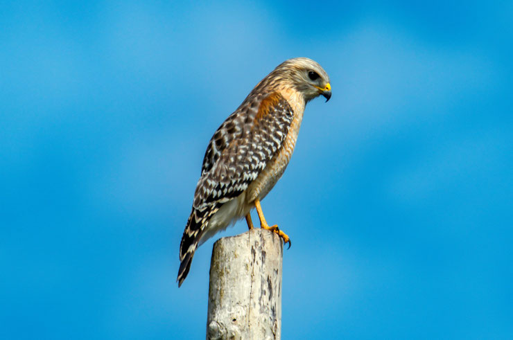 buse a epaulette fiche animaux oiseaux red shouldered hawk animal bird facts