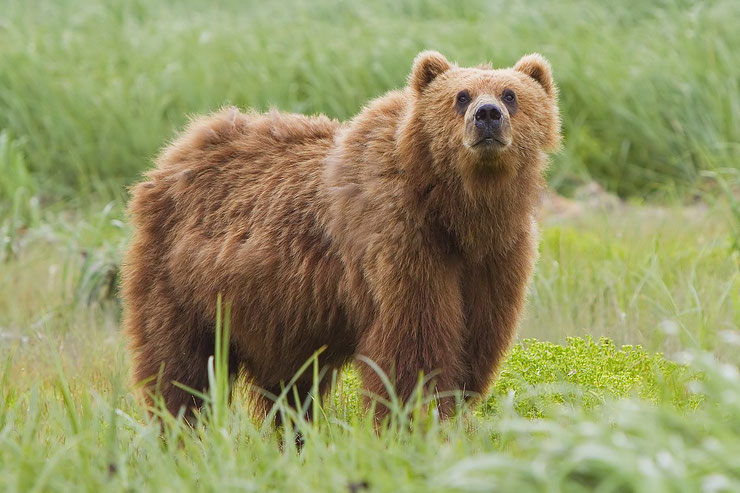 kodiak ours brun alaska fiche animaux animal facts kodiak bear