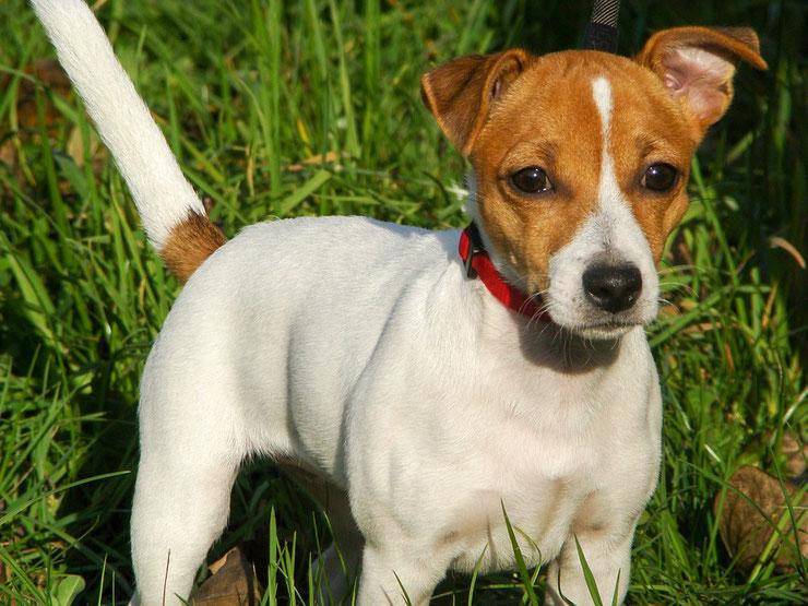 jack russell terrier fiche chien animaux caractere comportement origine poil couleur