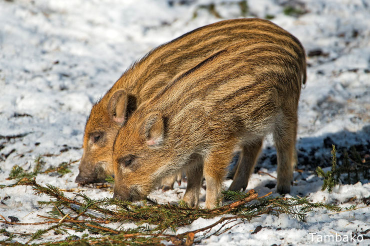 bebe sanglier marcassin animaux mignons cute baby animals eurasian wild boar